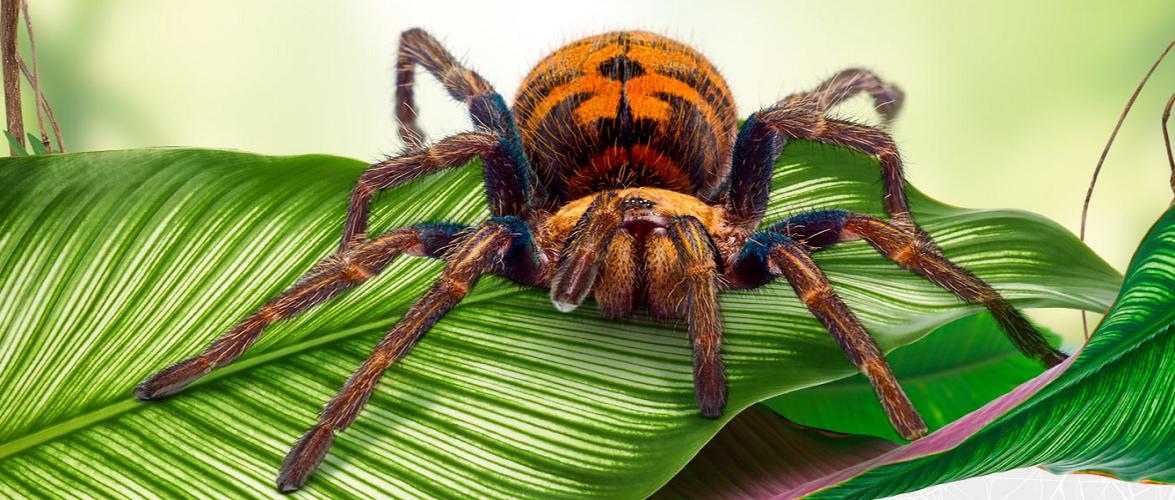 У Вроцлаві можна відвідати виставку павуків та скорпіонів