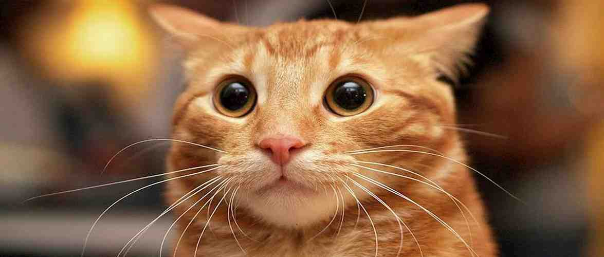 Сьогодні, 17 лютого, в Європі відзначають Міжнародний день кота
