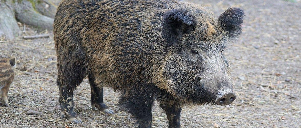 Дикі кабани в Польщі атакують: поліцейський застрелив тварину, яка напала на чоловіка