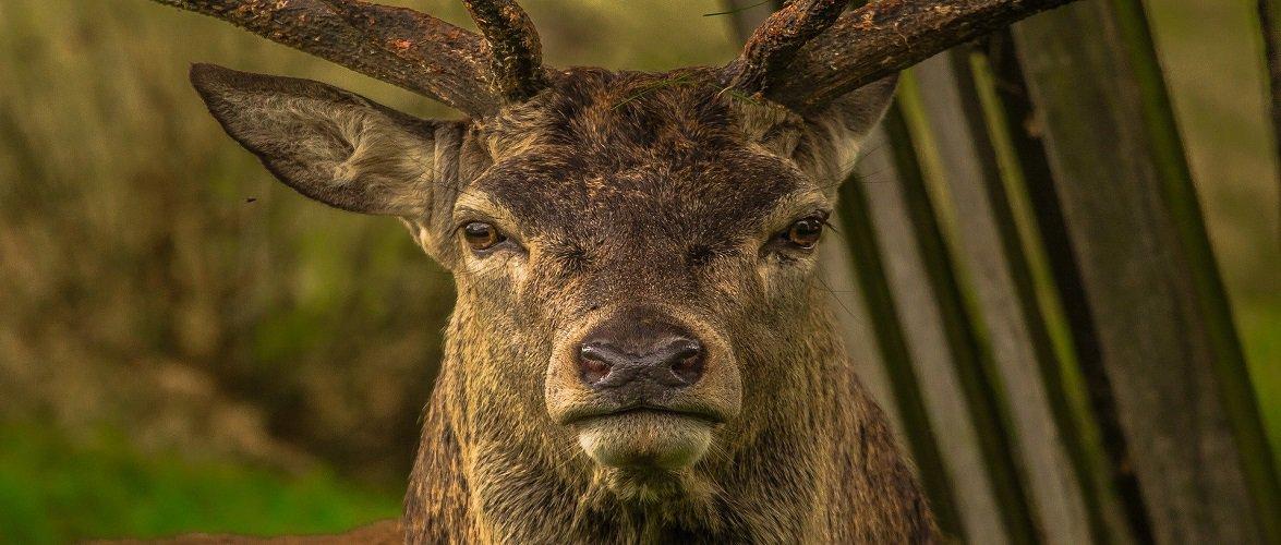 У Польщі стадо оленів вискочило на авто просто під час руху [+ВІДЕО]