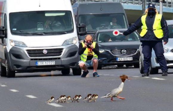 Поліція у Варшаві заблокувала рух, бо переводила птахів через дорогу [+ФОТО]