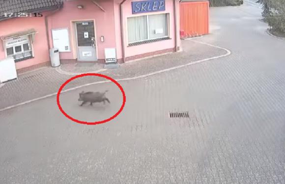У Польщі дикий кабан скористався громадським туалетом [+ВІДЕО]