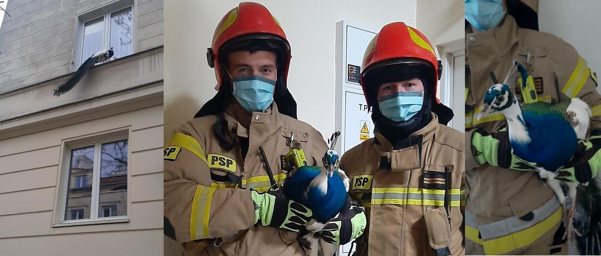 У Варшаві пожежні спіймали павича [+ФОТО]
