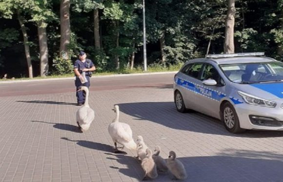 Польські поліцейські допомогли лебедям дійти до води: зворушливі фото та відео