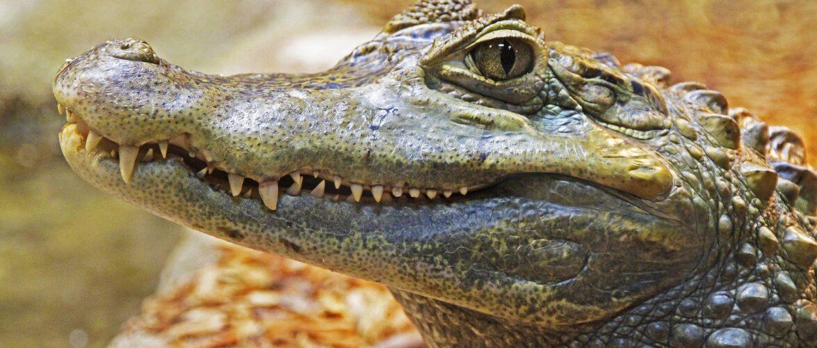 У польській річці розшукують крокодила: він втік з Чехії