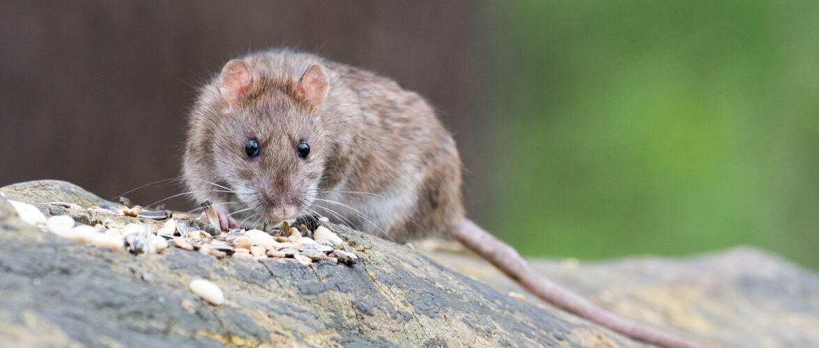 У Варшаві люди бояться спускатися в підвали через велетенських щурів