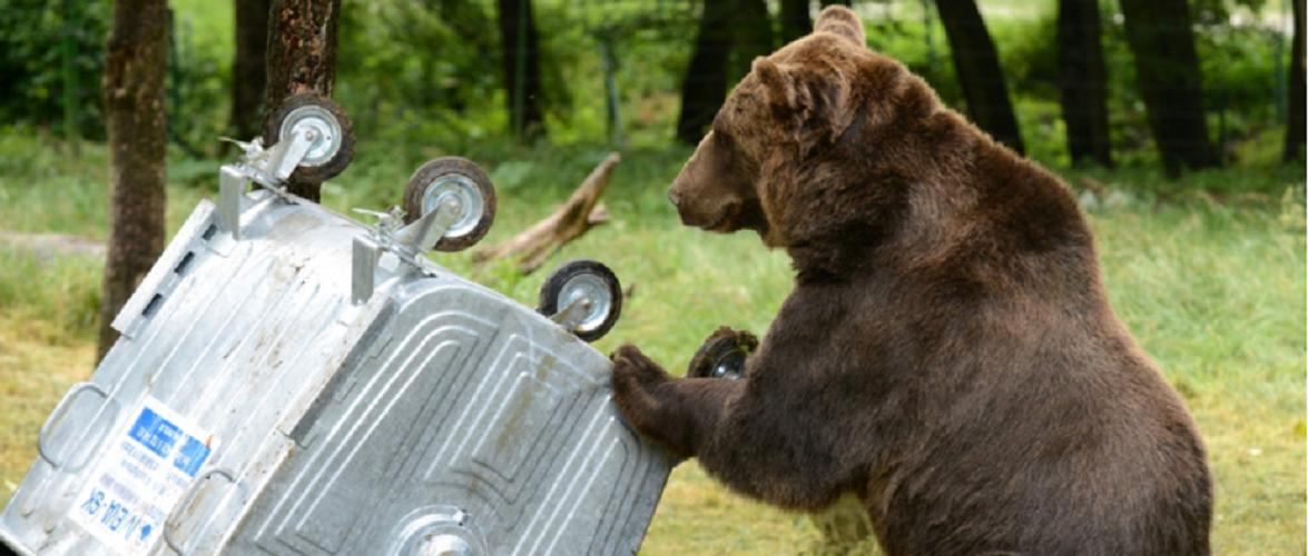Збираєтесь у Татри? Обережно, можна зустріти ведмедя