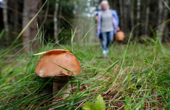 До Польщі по гриби почали масово приїжджати румуни: грибники незадоволені