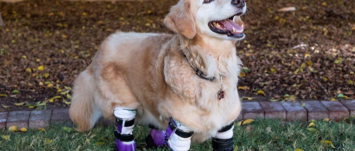 Здібний студент з Вроцлава допомагає тваринам і створює для них протези