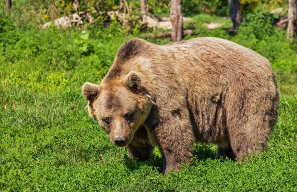 В Польщі на туриста напав ведмідь